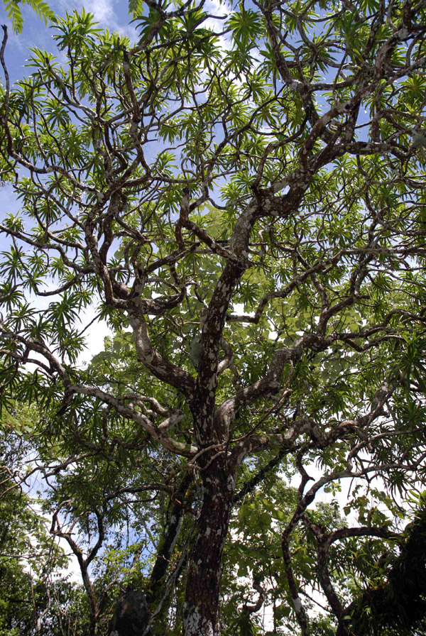 With only an estimated 2,500 left, the dragon tree (Dracaena kaweesakii) may be the most threatened species on the list. Found in Thailand—and perhaps Myanmar—the dragon tree is distinguished by sword-shaped leaves and cream-colored flowers. It grows up to 12 meters tall and is found only in limestone hills and mountains, which are being destroyed for concrete production. Photo by: Paul Wilkin.