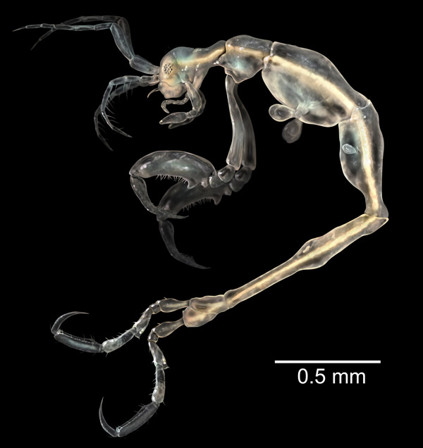 This is not an alien, but a new species of skeleton shrimp, also known as ghost shrimp, only distantly related to the shrimp that shows up on our plates. This species was discovered from a cave on California's Santa Catalina island. The new species is named Liropus minusculus, due to its extremely small size: males are only 3.3 millimeters, while females are even tinier at 2.1 millimeters. Interestingly, it is the first member of the genus Liropus discovered in the northeastern Pacific. Photo by: SINC (Servicio de Informacion y Noticias CientÌficas) and J.M. Guerra-García.