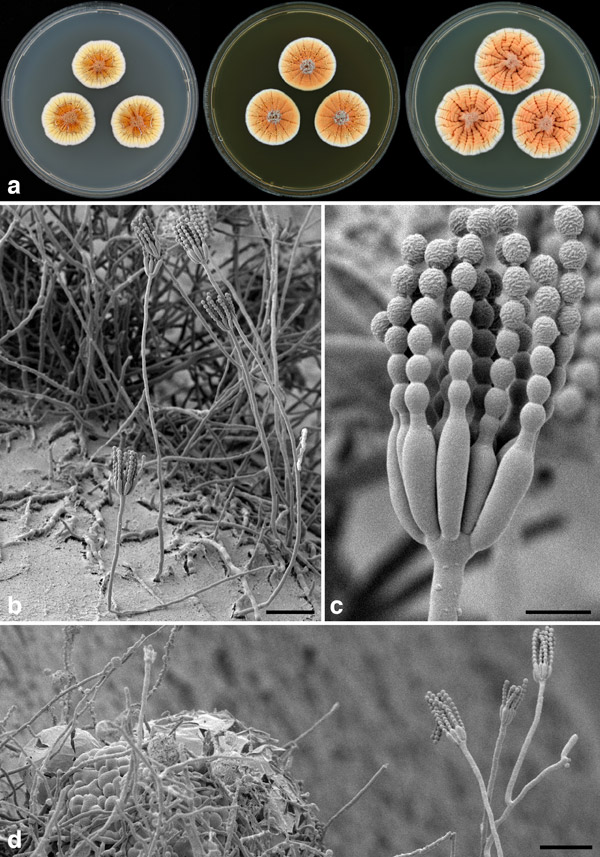 This new fungus produces a startlingly orange color when found in colonies, and, hence, has been named after Holland's Price of Orange: Penicillium vanoranjei. Discovered from soil in Tunisia, the new fungus may prove useful in protecting against drought. Photo by: Cobus M. Visagie.