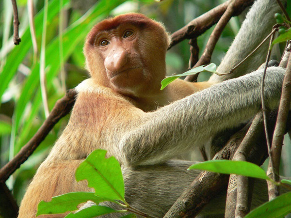 Proboscis monkeys (Nasalis larvatus) that are commonly threatened by palm-oil related deforestation in Indonesia. Photo by: Petr Čolas.