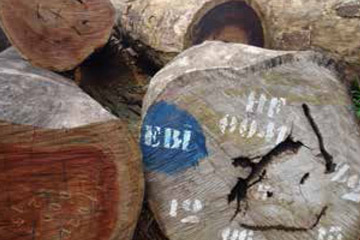 Log marked with HF for Herakles Farms. Greenpeace has documented the company cutting off the HF mark and replacing it with UP for Uniprovince. Photo by: © Greenpeace.