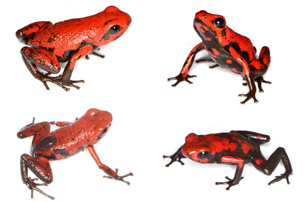 Andinobates cassidyhornae is a very recently described poison dart frog from the Western Andes of Colombia. It is typical of recently described species in having a very small geographical range and being in an area where habitat loss is a major threat to its existence. Photo by: Luis Mazariegos.