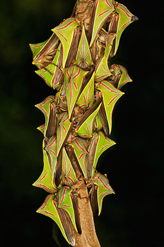These thorn tree hoppers, aptly named, disguise themselves as thorns. Photo by: Robert Oelma.