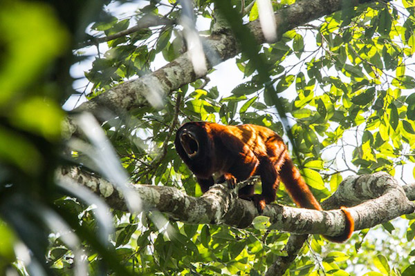 For anyone who has visited the region, the incredible roar of the red howler monkey is a classic wake up call. Photo by: Declan Burley.