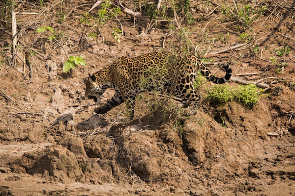 Jaguars are still a common sight along the banks of the river. Photo by: Declan Burley.