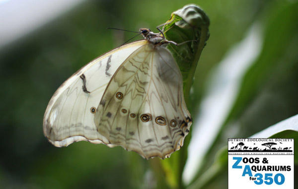 Global warming is disrupting migratory times for the world's butterflies like this white morpho. Photo by: Detroit Zoo.