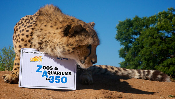 Desertification linked to climate change is eroding cheetah habitat. Photo by: the Cheetah Conservation Fund.