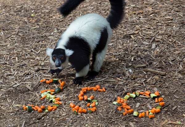 Lemurs, found only in Madagascar, are hugely imperiled by the destruction of their forests for slash-and-burn agriculture and lucrative timbers. The practice also fuels global warming. Photo by: Zoo Atlanta, Georgia, U.S.