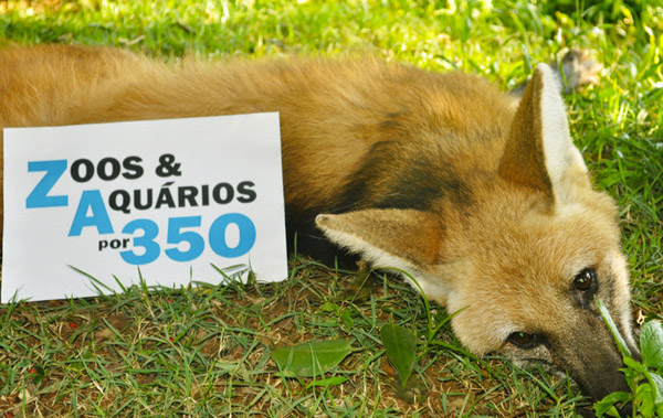 Maned wolf for 350. Photo by: Salvador Zoo, Brazil.