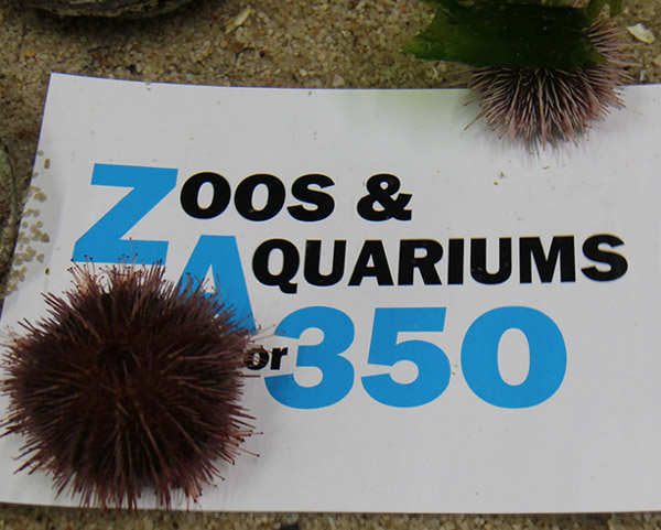 Ocean acidification is impacting sea urchins and many other marine species. Photo by: Two Oceans Aquarium, Cape Town, South Africa.