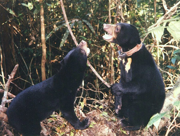 Sun bears with tracking collars. Photo courtesy of Gabriella Fredriksson.
