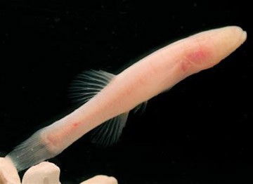 The Hoosier cavefish. Photo by: Chakrabarty et al.