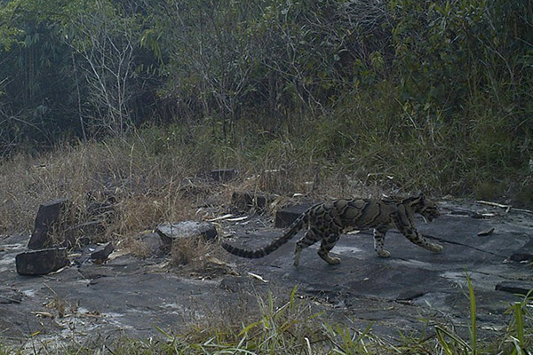 Un leopardo nebuloso (Neofelis nebulosa) fotografato di giorno in un'area remota del Virachey. Anche questa specie è ritenuta Vulnerabile. Foto di: Habitat ID.