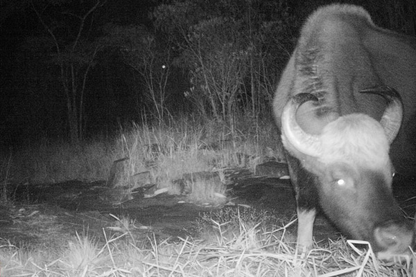 Un gaur enorme en un claro del bosque. Esta especie también es Vulnerable. Foto de: Habitat ID.