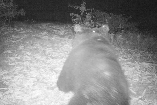 Une espèce rare d'ours noir d'Asie (Ursus thibetanus) surgit à côté d'une caméra-piège au Parc National de Virachey. Cette espèce est classée comme Vulnérable sur la Liste Rouge de l'UICN. Photo : Habitat ID.