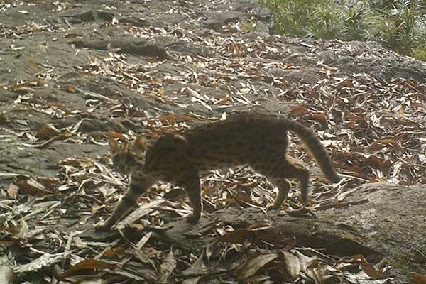 Une des plusieurs espèces de félins du parc : le chat  léopard (Prionailurus bengalensis), considéré de Préoccupation Mineure.