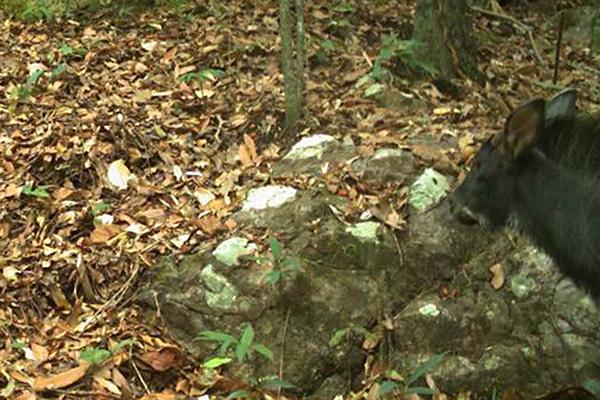 Cette photo est peut-être la première preuve sur document que le saro de Chine (Capricornis milneedwardsii) se trouve bien au Nord-Est du Cambodge. Etrange mammifère, le saro de Chine fait partie de la famille des chèvres-antilopes ou caprins. Cette espèce est considérée comme Quasi Menacée. Photo de : Habitat ID.