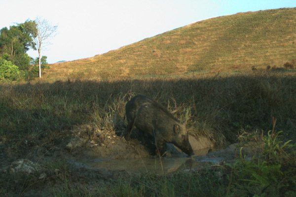 A boar (Sus scrofa) entering a mud hole. This species is also Least Concern. Photo by: Habitat ID.