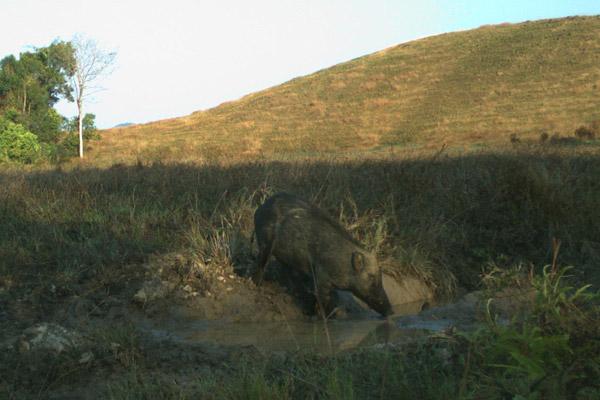 Un cinghiale (Sus scrofa) che entra in una pozza di fango. Questa specie è A minor rischio. Foto di: Habitat ID.