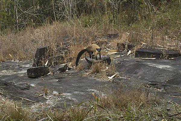 Una marta de garganta amarilla (Martes flavigula) observa la cámara oculta. Esta especie está catalogada como Preocupación Mínima. Foto de: Habitat ID.