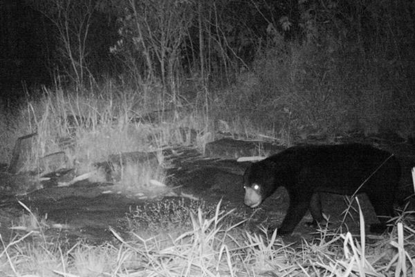 Un oso malayo (Helarctos malayanus), considerado Vulnerable, paseando por Virachey de noche. Foto de: Habitat ID.