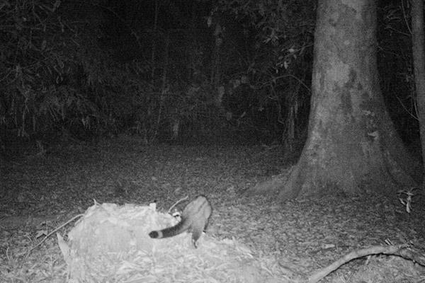 Un ancora non identificato zibetto del Virachey. Foto di: Habitat ID.