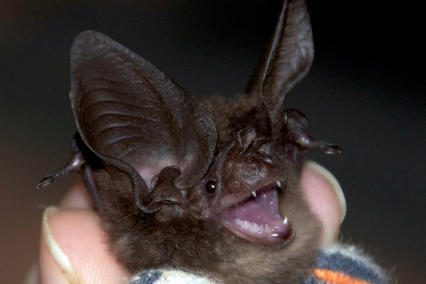 The first living New Guinea big-eared bat to be photographed. Photo by: Catherine Hughes.