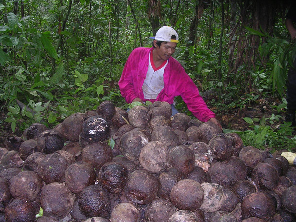Brazil nut producer in Pando, Bolivia. Photo by: Amy Duchelle.