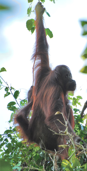 Orangutan hanging in Kinabatangan. Photo by: Daisah Bin Kapar/HUTAN.