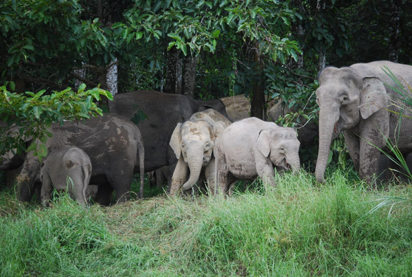 Bornean elephant herd. Photo by: Marc Ancrenaz/HUTAN.