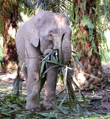 Bornean elephant feeding in a palm oil plantation. Photo by: Marc Ancrenaz/HUTAN.