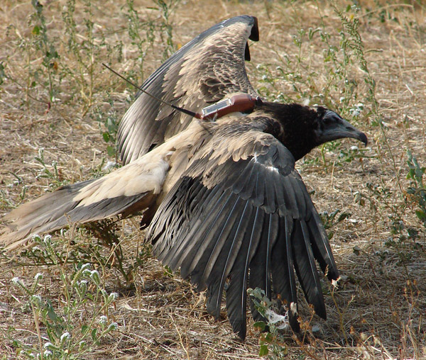 The juvenile Egyptian vulture fitted with transmitter. Photo by: Petros Babakas/Lifeneophron.eu