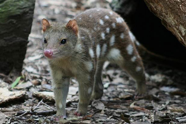 Tiger quolls (Dasyurus maculatus) are found in the region's forests. These are the longest carnivorous marsupials on the planet and are listed as Near Threatened by the IUCN Red List. Photo by: Joshua Cunningham.