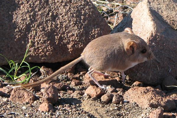 The Etendeka round-eared sengi (Macroscelides micus). Photo by: Galen Rathbun/California Academy of Sciences.
