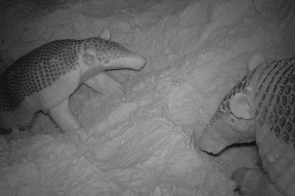 Mother and baby. Photo by: The Pantanal Giant Armadillo Project.
