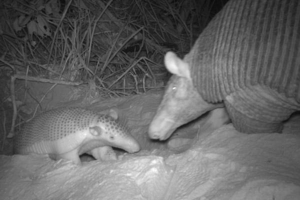 Madre y bebé. Foto de: Proyecto Armadillo Gigante del Pantanal.