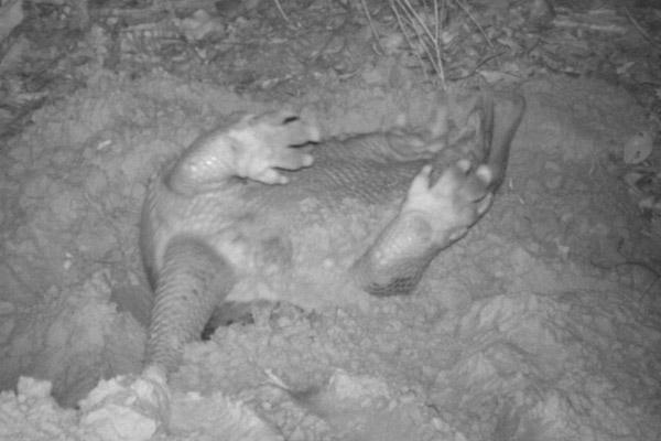 Armadillo gigante rodando. Foto de: Proyecto Armadillo Gigante del Pantanal.