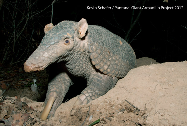 Un armadillo gigante adulto. Foto di: Kevin Schafer/The Pantanal Giant Armadillo Project.