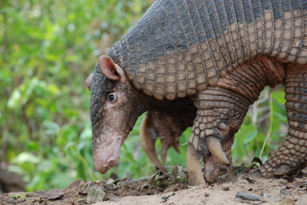 Giant armadillo. Photo by: The Pantanal Giant Armadillo Project.
