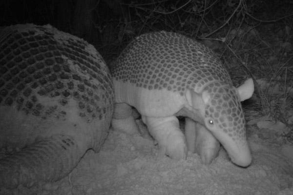 Bebé de armadillo gigante junto a su madre, captado en cámara oculta. Foto de: Proyecto Armadillo Gigante del Pantanal.