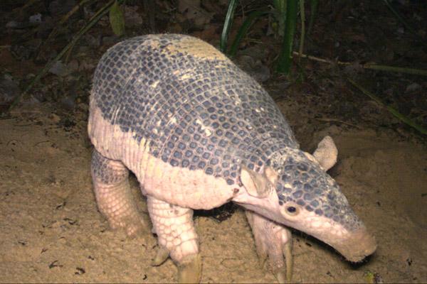 La documentación de bebés de armadillo gigante ayuda a arrojar luz sobre la reproducción de la especie, eso por no hablar de lo bonitos que son. Foto de: Proyecto Armadillo Gigante del Pantanal.