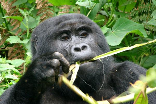 The Bwindi Impenetrable National Park, Uganda hosts nearly half of the world's remaining mountain gorillas. Photo courtesy of Douglas Sheil.