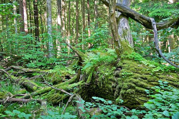 Le bois mort joue un rôle écologique primordial dans les forêts primaires. Photo de: Lukasz Mazurek.