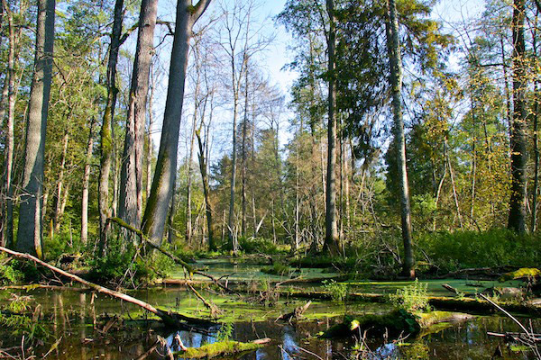 Flooded forests in Bialoweiza. Photo by: Lukasz Mazurek.