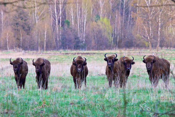 Herd of bison in Bialowieza Forest. Photo by: Lukasz Mazurek.