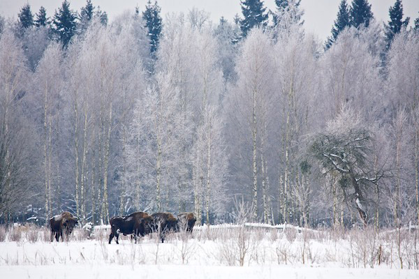 Bison and winter scene in Bialowieza. Photo by: Lukasz Mazurek/Wild Poland.