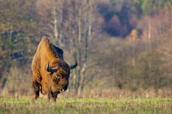 Bison in Bialowieza Forest. Today around 800 wild bison survive in Bialowieza. Photo by: Lukasz Mazurek/Wild Poland.