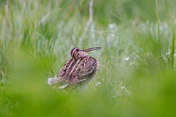A great snipe in the Biebrza Marshes. Photo by: Lukasz Mazurek.