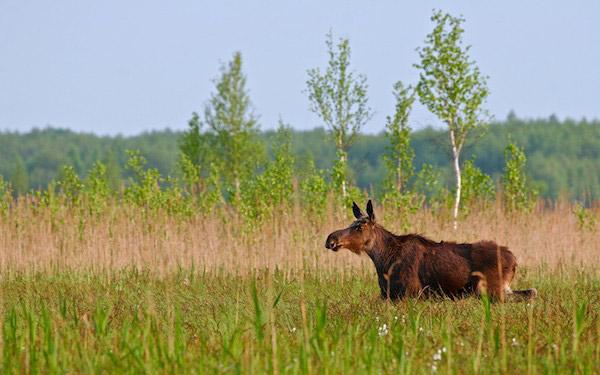 Elan (orignal) au printemps dans les Marais de Biebrza. Photo de: Lukasz Mazurek.