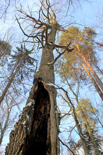 Old tree in Bialoweiza Forest in Poland. Bialoweiza is the last lowland old-growth forest on the continent. The forest is home to wolves, lynx, bison, and a number of woodpecker species found few other places. Photo by: Jeremy Hance.